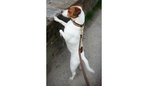 Leashes and collars for Jack Russel